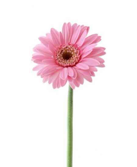 Gerbere roz