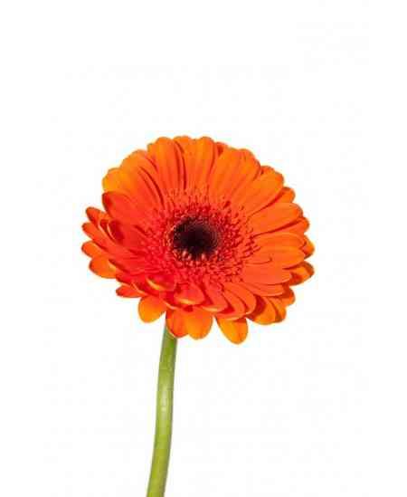 Gerbere orange