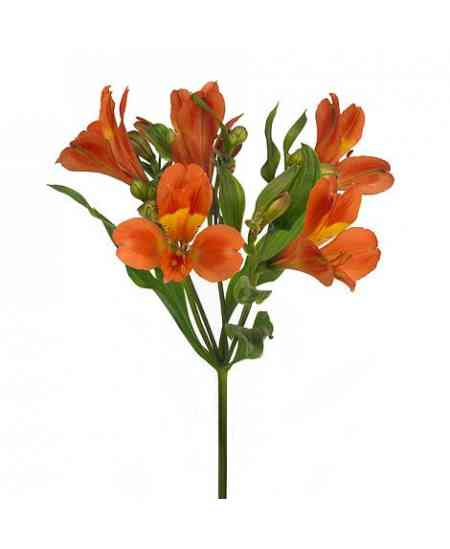 Оранжевые альстромерии