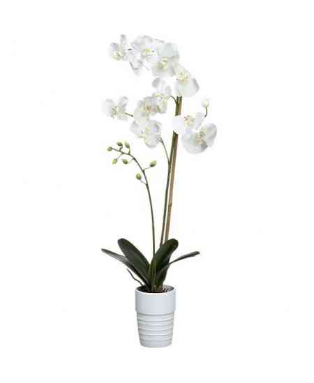 White small Orchid Phalaenopsis