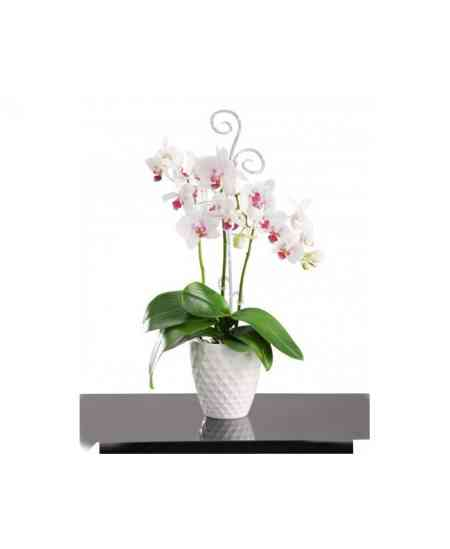 Medium white Orchid Phalaenopsis