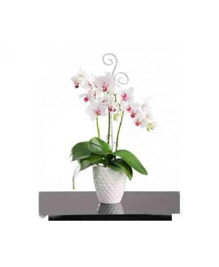 Orhidee Phalaenopsis albă medie