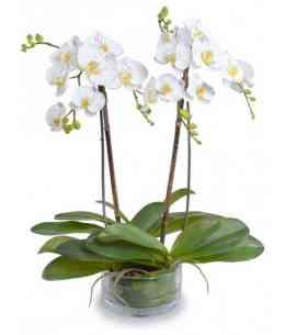 Белая Орхидея Фаленопсис Гигант