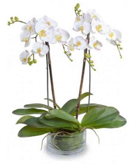 Orhidee Phalaenopsis albă gigant