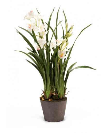Orhideea Cymbidium