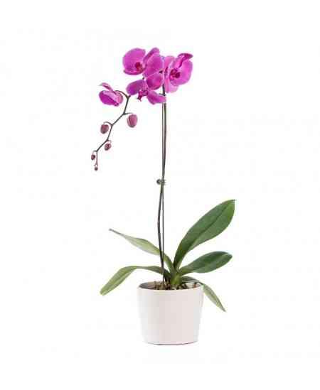 Маленькая фиолетовая Орхидея Фаленопсис