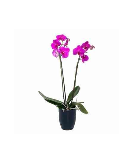 Orhidee Phalaenopsis violetă medie