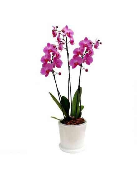 фиолетовая Орхидея Фаленопсис Гигант