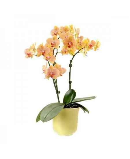 Orhidee Phalaenopsis galbenă medie