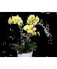 Orhidee Phalaenopsis galbenă gigant
