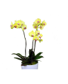 Huge yellow Orchid Phalaenopsis
