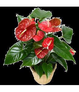 Anthurium roșu mic