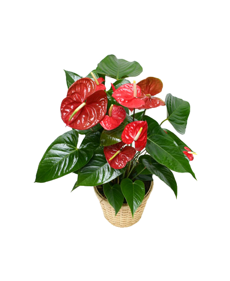 Red small Anthurium