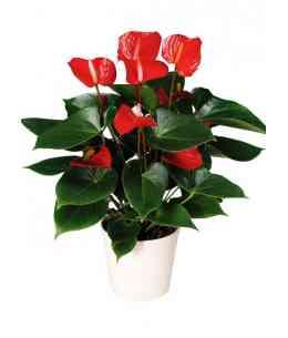 Anthurium roșu mare