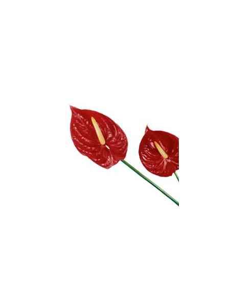 Anthurium roșii