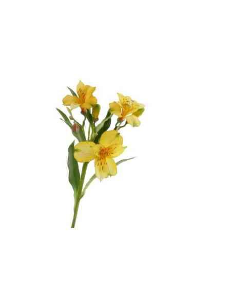 Желтые альстромерии