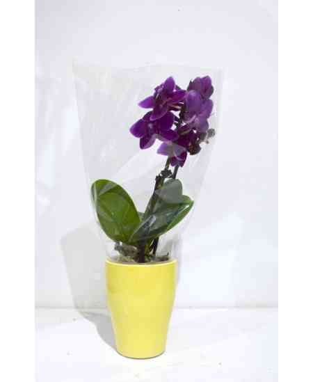 Мини фиолетовая Орхидея