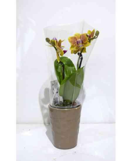 Мини желтая Орхидея