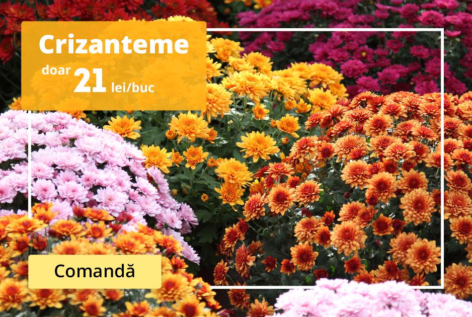 Ofertă Crizanteme la preț de 21 lei/buc