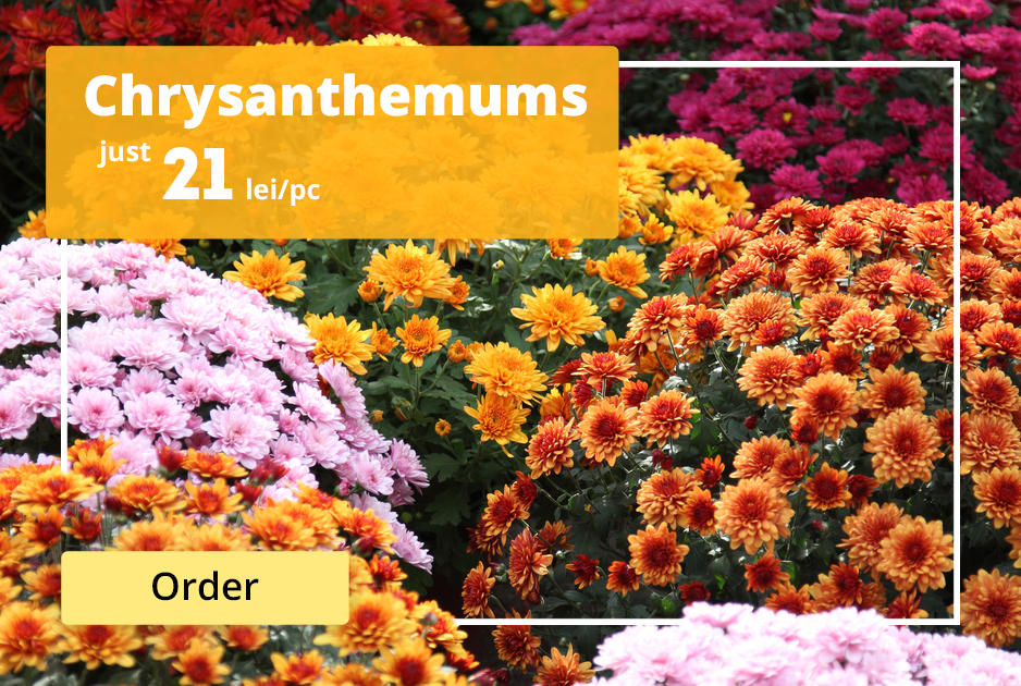 Offer. Chrysanthemums at price of 21 lei/unit
